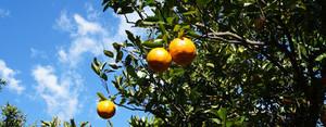 三余農園 柑橘類